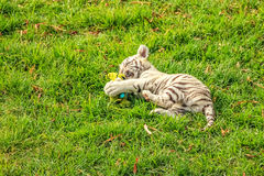 Baby tiger plays Royalty Free Stock Photos