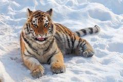 Baby tiger portrait stock image