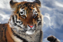 Baby tiger portrait Stock Image