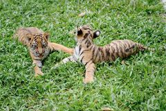 Baby tiger. Is running very cute stock photos