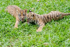Baby tiger royalty free stock photo