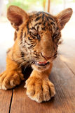 Baby tiger in Thailand. Baby tiger in Tiger Temple near Bangkok in Thailand stock images