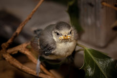 Baby tit Royalty Free Stock Photo
