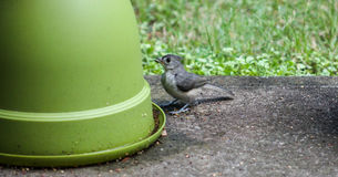 Baby Titmouse- Are you my mom? Stock Photos
