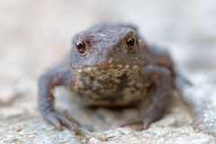 Baby toad with big eyes stairing Stock Photo