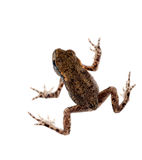 Baby toad, bufo bufo, isolated on white background Stock Photography