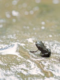 Baby toad just discovering dry land. Royalty Free Stock Photos