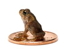 Baby Toad sitting on a Penny isolated on a white background. stock photo
