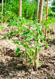 Baby tomato plant in kitchen garden Royalty Free Stock Photography