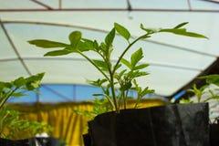 Baby Tomato Plants Stock Image