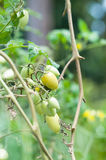 Baby tomatoes or cherry tomatoes Stock Photography