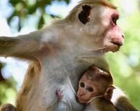Baby toque macaque snuggled into mother`s breast. With endearing expression in Sri Lanka Royalty Free Stock Images