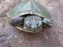 Baby tortoise Royalty Free Stock Image