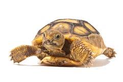 Baby Tortoise Stock Image