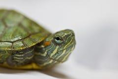 Baby tortoise closeup. Stock Photography