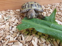Baby Tortoise Royalty Free Stock Photo