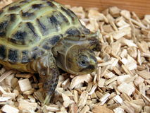 Baby Tortoise Royalty Free Stock Images