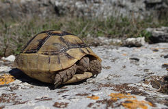 Baby tortoise in the springtime Royalty Free Stock Image