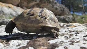 Baby tortoise walking Royalty Free Stock Photography
