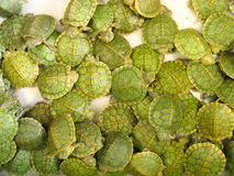 Baby Tortoises. Tortoises Royalty Free Stock Photos