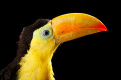 Baby toucan Stock Photography