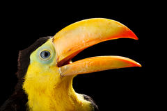 Baby toucan Royalty Free Stock Image