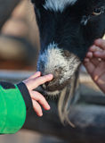 Baby touching goat Royalty Free Stock Images