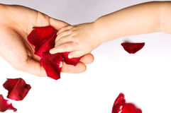 Baby touching rose petals. Baby's hand touching rose petals on father's hand royalty free stock photos