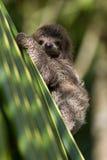 Baby tre-toed sengångare Royaltyfria Foton
