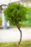 Baby tree Stock Image