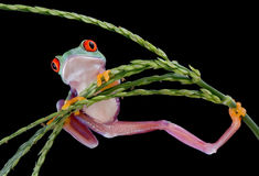 Baby tree frog in awkward position. A baby red-eyed tree frog is hanging from a plant in an awkward position Stock Photos
