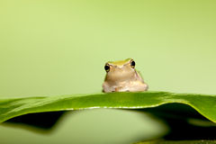 Baby Tree frog on the leaf Royalty Free Stock Images