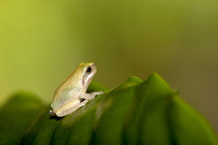 Baby Tree frog on the leaf Stock Photography