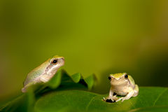Baby Tree frog on the leaf Stock Image