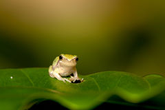 Baby Tree frog on the leaf Royalty Free Stock Photo