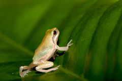 Baby Tree Frog On The Leaf Royalty Free Stock Photos