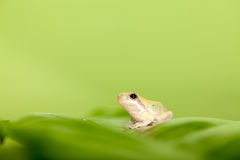 Baby Tree Frog On The Leaf Royalty Free Stock Image
