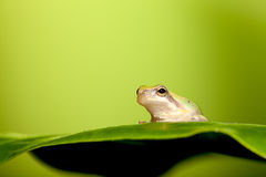 Baby Tree Frog On The Leaf Royalty Free Stock Photography