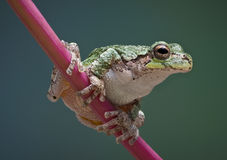 Baby tree frog on red stem Stock Photo