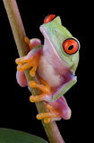 Baby tree frog on stem. A baby red-eyed tree frog is sitting on a plant stem Stock Photos