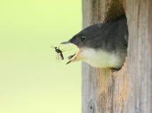 Baby Tree Swallow royalty free stock photo