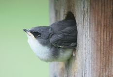 Baby Tree Swallow Royalty Free Stock Photography