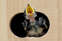 Baby Tree Swallow Begging For Food Stock Photo