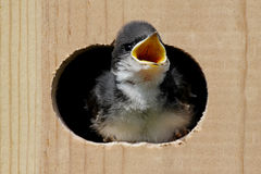 Baby Tree Swallow In a Bird House Stock Photo
