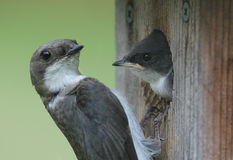 Baby Tree Swallow With Mother. Baby Tree Swallow (tachycineta bicolor) being fed by his mother in a bird house royalty free stock image