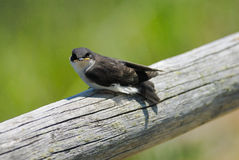 Baby tree swallow Royalty Free Stock Photos