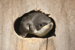 Baby Tree Swallow Royalty Free Stock Photo