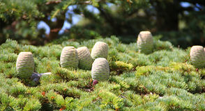Baby trees. Cedars flowers that is considerd as the seed of the cedars famous trees of Lebanon Stock Photo