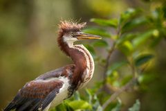 Free Baby Tricolored Heron Bird Egretta Tricolor In A Tree Stock Photo - 118180400