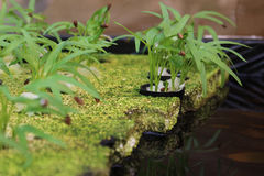 Baby Tropical Herbs Growing in Seed Trays Stock Photography